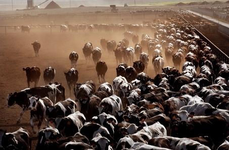 Oregono karvėms įprasta trankytis per geležinkelius. Tuose kraštuose pasipiktinimą kelia jų teršalai ir smarvė
