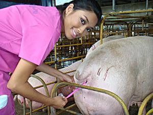 Kiaulių sėklinimo procesas gali būti žavus ir  romantiškas